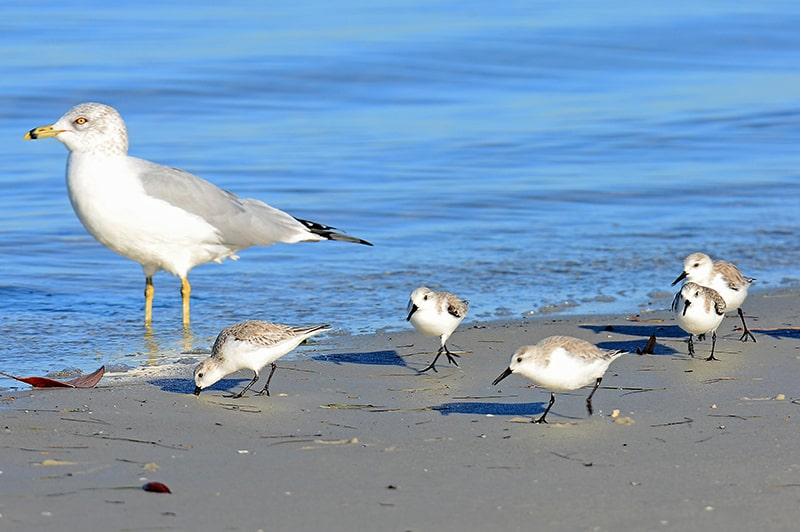 Sandpipers with Seagulls Hilton Head